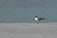 A laughing gull Larus Atricilla on the beach. stock image