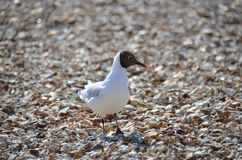 Laughing Gull  (Larus atricilla) Royalty Free Stock Photography