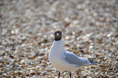 Laughing Gull  (Larus atricilla) Stock Image