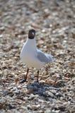 Laughing Gull  (Larus atricilla) Royalty Free Stock Photos