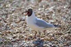 Laughing Gull  (Larus atricilla) Stock Photos