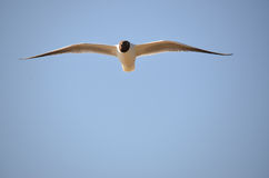 Laughing Gull  (Larus atricilla) Stock Images