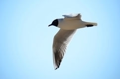Laughing Gull  (Larus atricilla) Stock Photography