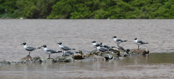 Laughing Gull Royalty Free Stock Photography