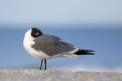 Laughing Gull (Larus atricilla) Royalty Free Stock Photos