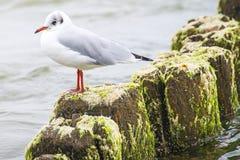 Laughing gull, Larus ridibundus L. Royalty Free Stock Photography