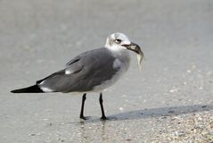 Laughing Gull (Lencophaeus atricilla) Stock Photography