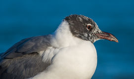 Laughing Gull (Leucophaeus atricilla) Royalty Free Stock Photo