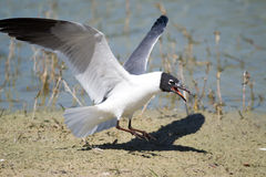 Laughing Gull (Leucophaeus atricilla) Royalty Free Stock Photography