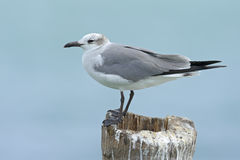 Laughing Gull, Leucophaeus atricilla, sitting on the stick, with clear blue background, Belize Royalty Free Stock Photo