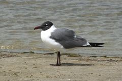 Laughing Gull (Leucophaeus atricilla) Stock Photos