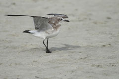 Laughing Gull Lift Off Royalty Free Stock Images