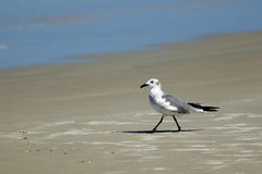 Laughing gull near water. Stock Images