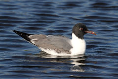 Laughing Gull By The Ocean Royalty Free Stock Image