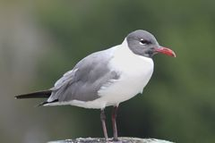 Laughing Gull By The Ocean Royalty Free Stock Photography