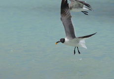 Laughing Gull with an Orange in His Beak Flying Over the Ocean Stock Photos
