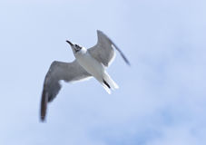 Laughing Gull Overflight. Laughing Gull (Leucophaeus atricilla) overflies with cloudy sky in Chesapeake Beach, Maryland USA royalty free stock image
