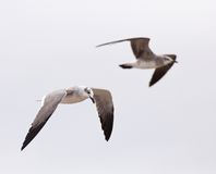 Laughing Gull pair Royalty Free Stock Image
