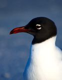 Laughing Gull portrait. Side portrait of Laughing Gull with blue background Royalty Free Stock Photo