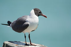 Laughing Gull Posing Royalty Free Stock Image