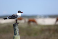 Laughing gull on a post with horses in the background Stock Image