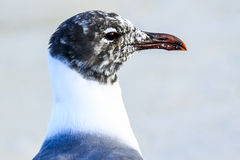 Laughing Gull Profile Royalty Free Stock Photos