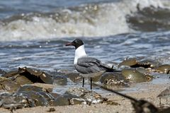 Laughing gull scavenging for eggs of Horseshoe crabs. royalty free stock photography