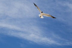 Laughing Gull Scrutinizing the Sky while Glidling. A white and black laughing gull in mating plumage (black head, red-tipped bill) , gliding through the air Stock Photos
