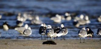 Laughing Gull shorebirds on beach, Hilton Head Island. Laughing Gull on beach surf. Hilton Head Island, South Carolina, USA. Fish Haul Park and Mitchelville Royalty Free Stock Photography