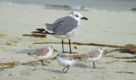 Laughing Gull with Shorebirds. A Laughing Gull on a beach in South Carolina with a few shorebirds Royalty Free Stock Images