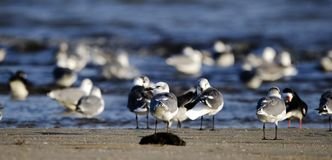Laughing Gull Shorebirds On Beach, Hilton Head Island Royalty Free Stock Photography
