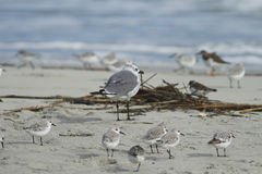 Laughing Gull with Shorebirds. A Laughing Gull surrounded by shorebirds on a beach in South Carolina Royalty Free Stock Images