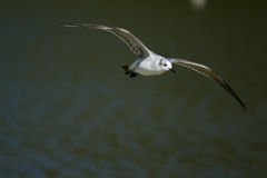 Laughing Gull (Leucophaeus atricilla) in flight. Royalty Free Stock Photography