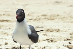 Laughing gull Royalty Free Stock Photos