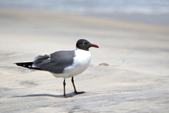 Laughing gull standing on a beach in Florida. One laughing gull standing on a beach in Florida stock images