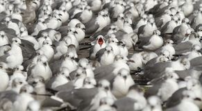 Laughing Gull in a Sea of Laughing Gulls royalty free stock photography