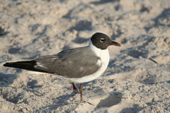 Laughing Gull standing on the sand Royalty Free Stock Photography