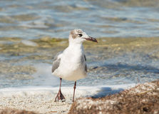 The Laughing Gull Strut. By the set of his eye and the jaunty angle of his walk, this Laughing Gull seems to be cool, dashing, and ready to enjoy an evening at royalty free stock photography