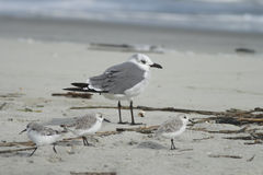 Laughing Gull with Three Shorebirds. A Laughing Gull surrounded by shorebirds on a beach in South Carolina Stock Image
