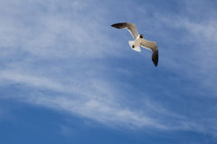Laughing Gull Turning Inflight against Clouds, Blue Sky Royalty Free Stock Photos