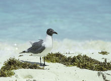 A laughing gull on white sand with seaweed Royalty Free Stock Photography