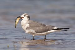 Free Laughing Gull With Fish Stock Photo - 13609760