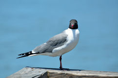 Laughing gull on wooden pier Stock Photography
