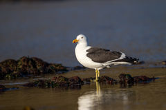 Laughing gull with yellow legs Stock Photography