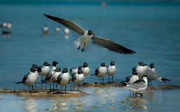 Laughing gulls. Group of gulls by the sea side Stock Photos