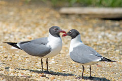 Laughing Gulls Royalty Free Stock Photos