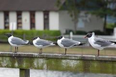 Laughing Gulls Royalty Free Stock Photos