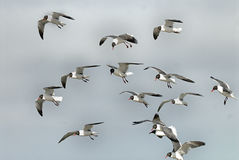 Laughing Gulls Stock Photography