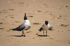 Laughing Gulls with Attitude! Royalty Free Stock Photo