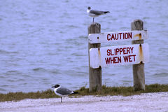Laughing Gulls and Caution Sign Royalty Free Stock Image